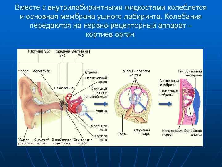 Вместе с внутрилабиринтными жидкостями колеблется и основная мембрана ушного лабиринта. Колебания передаются на нервно-рецепторный