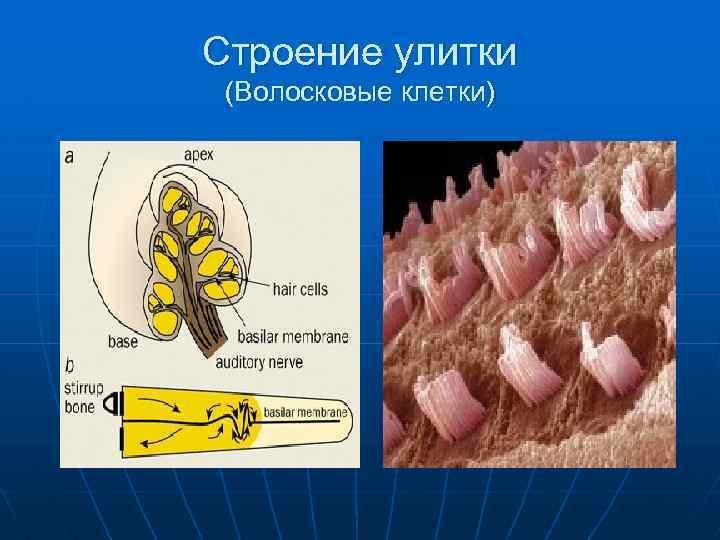 Строение улитки (Волосковые клетки)