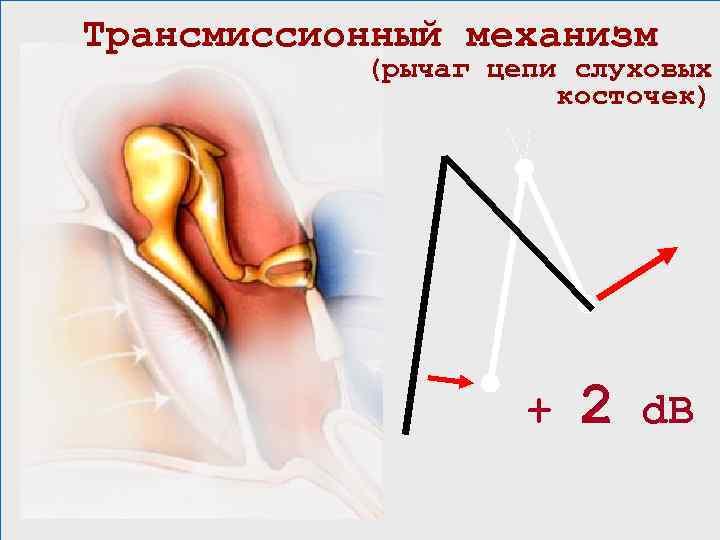 Трансмиссионный механизм (рычаг цепи слуховых косточек) + 2 d. B