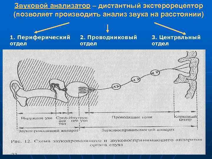 Звуковой анализатор – дистантный экстерорецептор (позволяет производить анализ звука на расстоянии) 1. Периферический отдел