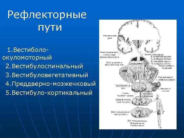 Рефлекторные пути 1. Вестиболоокуломоторный 2. Вестибулоспинальный 3. Вестибуловегетативный 4. Преддверно-мозжечковый 5. Вестибуло-кортикальный