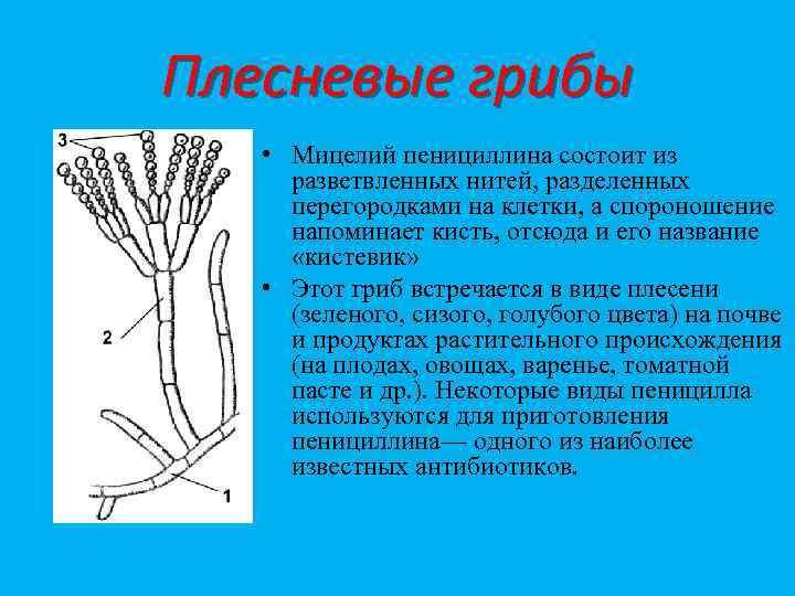 Плесневые грибы • Мицелий пенициллина состоит из разветвленных нитей, разделенных перегородками на клетки, а