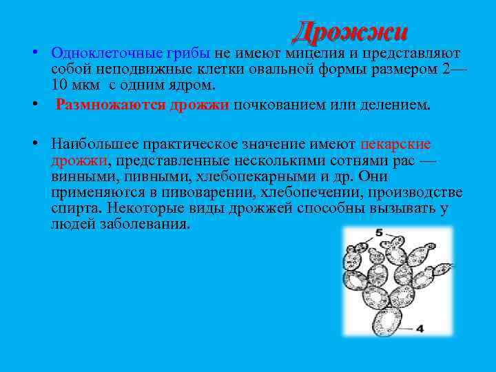 Дрожжи • Одноклеточные грибы не имеют мицелия и представляют собой неподвижные клетки овальной формы