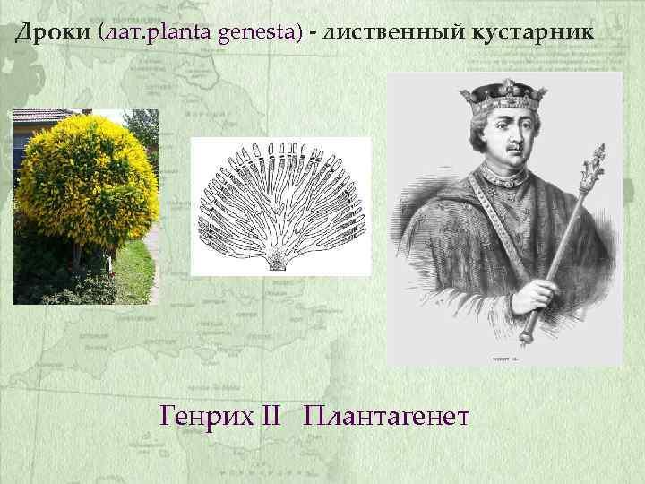 Дроки (лат. planta genesta) - лиственный кустарник Генрих II Плантагенет