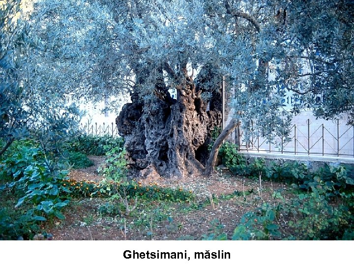 Ghetsimani, măslin