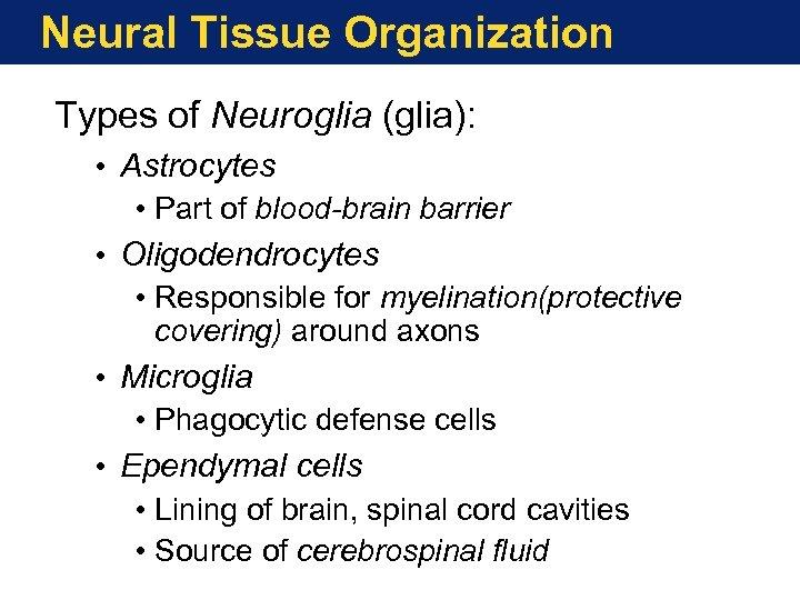 Neural Tissue Organization Types of Neuroglia (glia): • Astrocytes • Part of blood-brain barrier