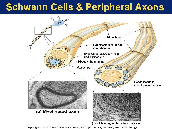 Schwann Cells & Peripheral Axons