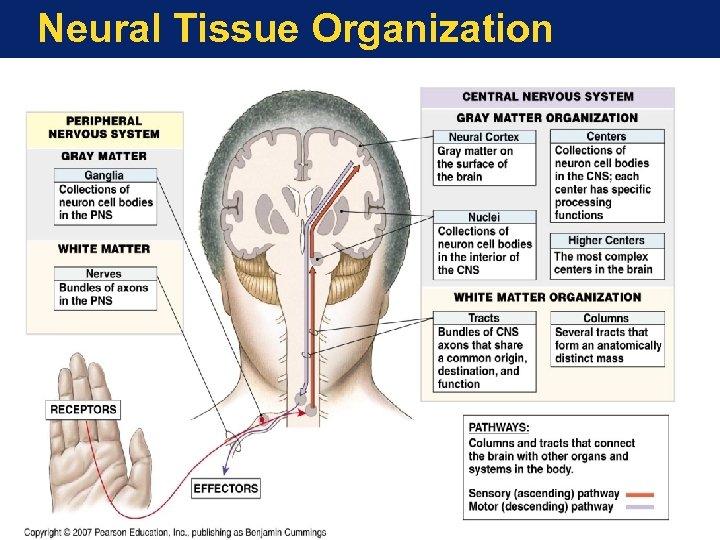 Neural Tissue Organization