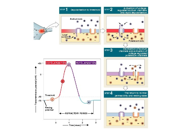 Depolarization to threshold Activation of voltageregulated sodium channels and rapid depolarization Sodium ions Local