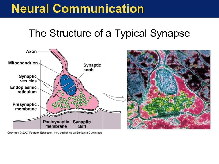 Neural Communication The Structure of a Typical Synapse