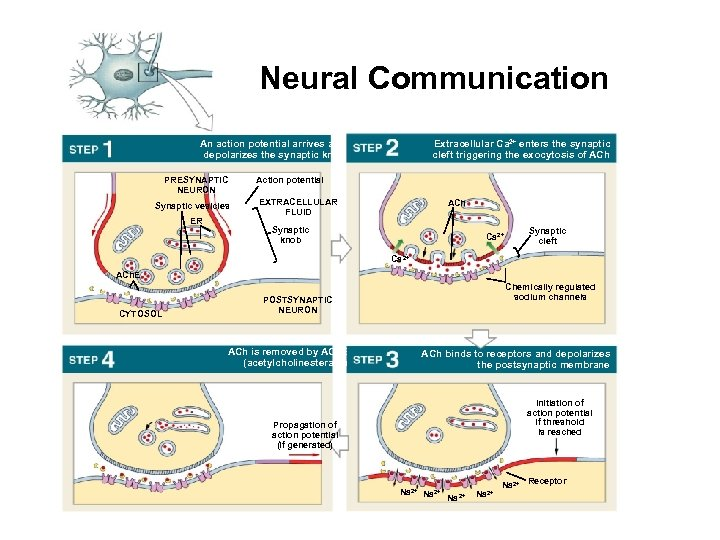 Neural Communication An action potential arrives and depolarizes the synaptic knob PRESYNAPTIC NEURON Synaptic