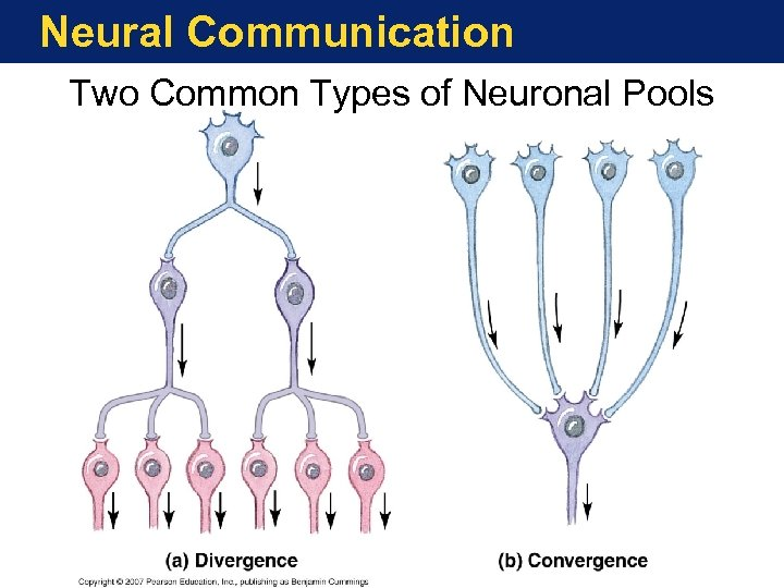 Neural Communication Two Common Types of Neuronal Pools