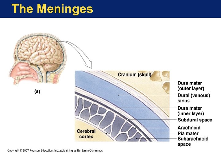 The Meninges
