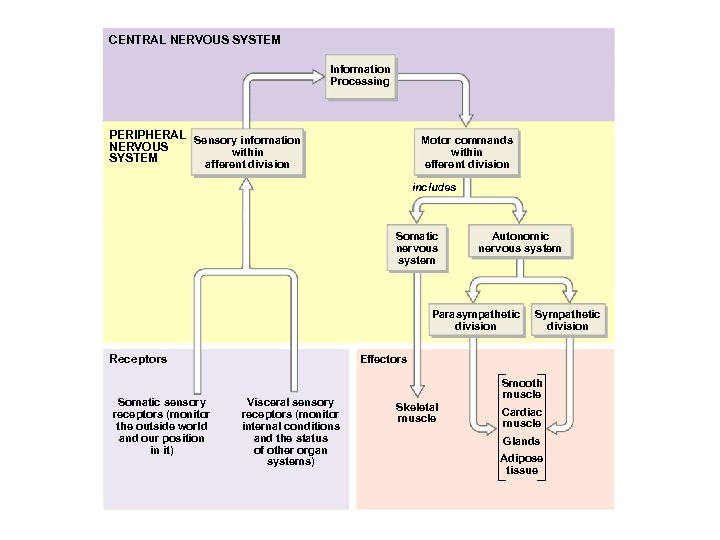CENTRAL NERVOUS SYSTEM Information Processing PERIPHERAL Sensory information NERVOUS within SYSTEM afferent division Motor