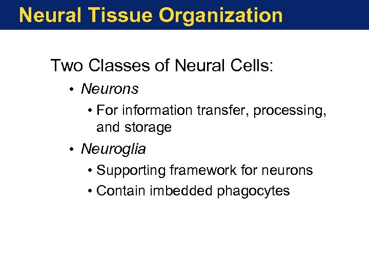 Neural Tissue Organization Two Classes of Neural Cells: • Neurons • For information transfer,