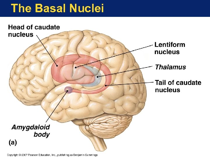 The Basal Nuclei