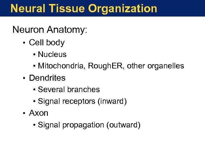 Neural Tissue Organization Neuron Anatomy: • Cell body • Nucleus • Mitochondria, Rough. ER,