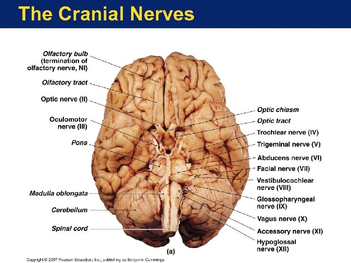 The Cranial Nerves