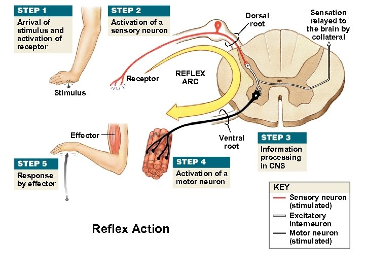 Arrival of stimulus and activation of receptor Activation of a sensory neuron Receptor Sensation
