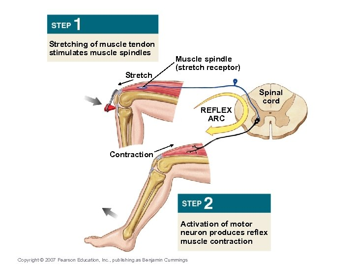 Stretching of muscle tendon stimulates muscle spindles Stretch Muscle spindle (stretch receptor) Spinal cord