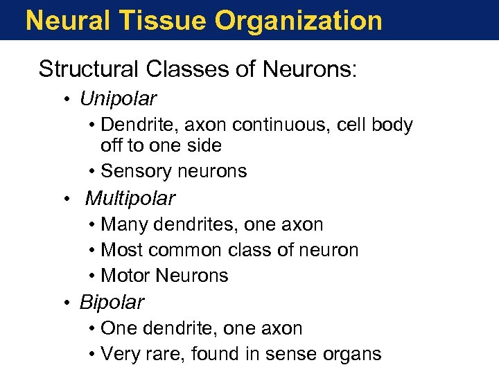 Neural Tissue Organization Structural Classes of Neurons: • Unipolar • Dendrite, axon continuous, cell