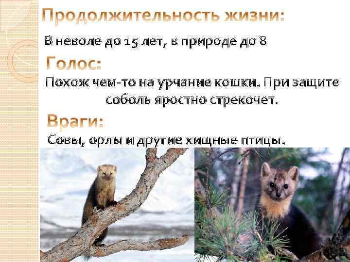В неволе до 15 лет, в природе до 8 Похож чем-то на урчание кошки.