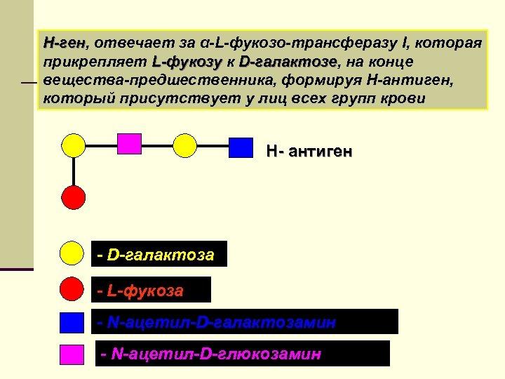 Н-ген, отвечает за α-L-фукозо-трансферазу I, которая Н-ген прикрепляет L-фукозу к D-галактозе, на конце -галактозе
