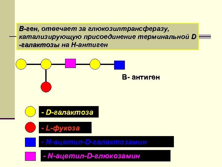 В-ген, отвечает за глюкозилтрансферазу, В-ген катализирующую присоединение терминальной D -галактозы на Н-антиген В- антиген