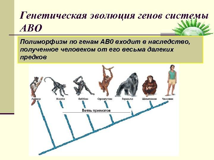 Генетическая эволюция генов системы АВО Полиморфизм по генам AB 0 входит в наследство, полученное