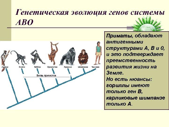 Генетическая эволюция генов системы АВО Приматы, обладают Приматы антигенными структурами A, B и 0,
