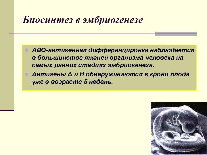 Биосинтез в эмбриогенезе n АВО-антигенная дифференцировка наблюдается в большинстве тканей организма человека на самых