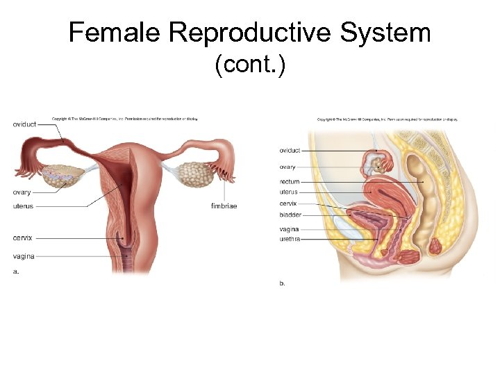 Female Reproductive System (cont. )