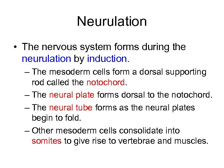 Neurulation • The nervous system forms during the neurulation by induction. – The mesoderm