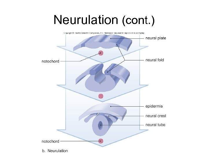 Neurulation (cont. )