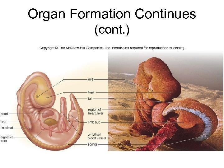Organ Formation Continues (cont. )