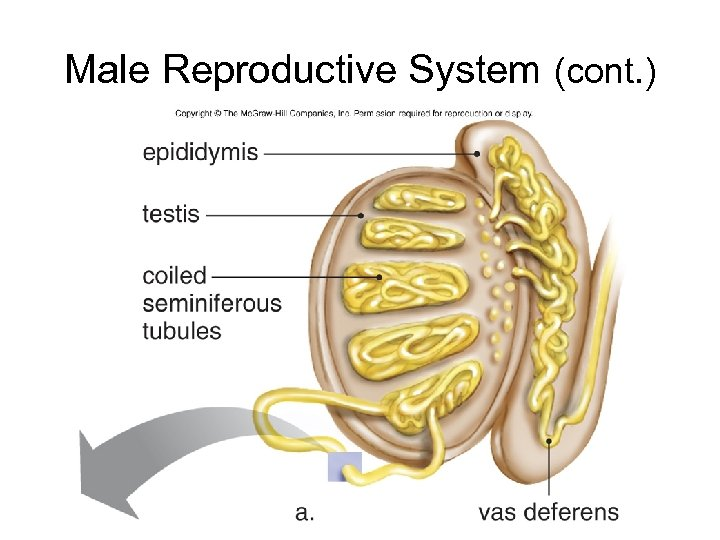 Male Reproductive System (cont. )