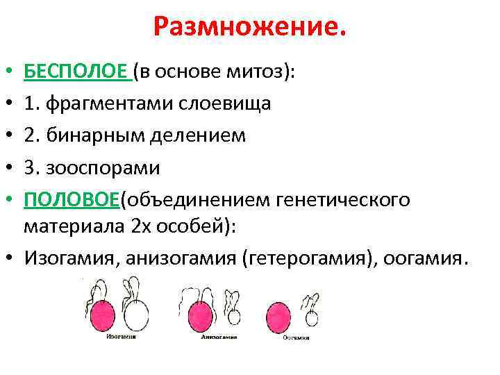 Размножение. БЕСПОЛОЕ (в основе митоз): 1. фрагментами слоевища 2. бинарным делением 3. зооспорами ПОЛОВОЕ(объединением