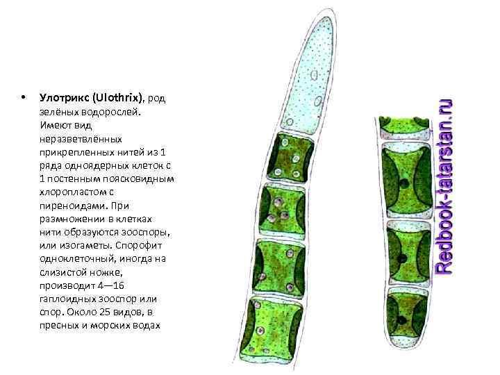 • Улотрикс (Ulothrix), род зелёных водорослей. Имеют вид неразветвлённых прикрепленных нитей из 1