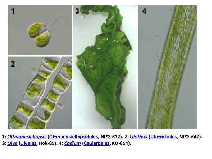 1: Oltmannsiellopsis (Oltmannsiellopsidales, NIES-672). 2: Ulothrix (Ulotrichales, NIES-642). 3: Ulva (Ulvales, Hok-85). 4: Codium