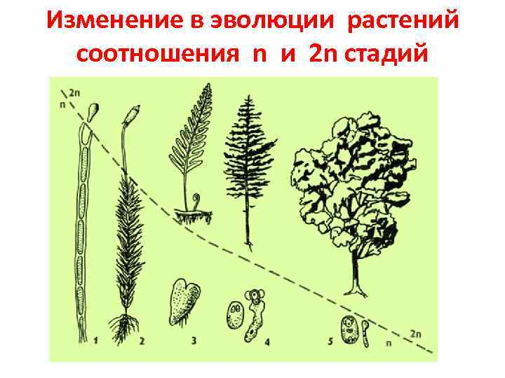 Изменение в эволюции растений соотношения n и 2 n стадий
