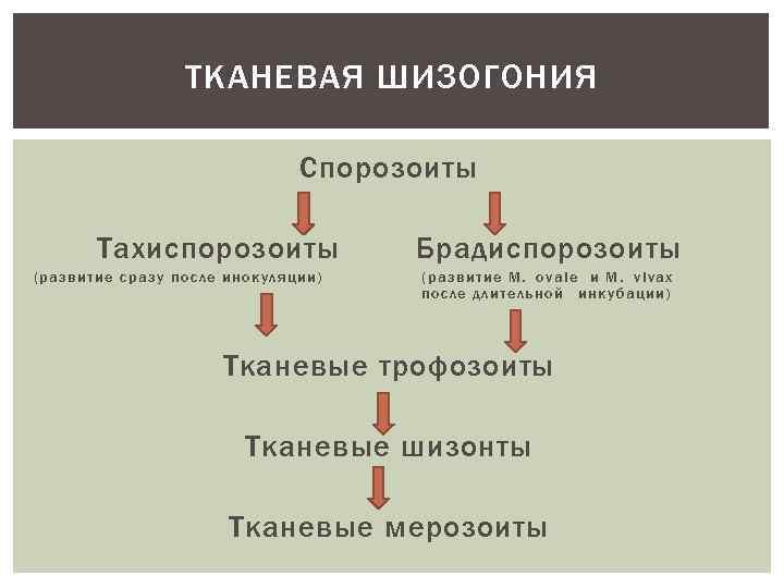 ТКАНЕВАЯ ШИЗОГОНИЯ Спорозоиты Тахиспорозоиты (развитие сразу после инокуляции) Брадиспорозоиты (развитие М. ovale и М.