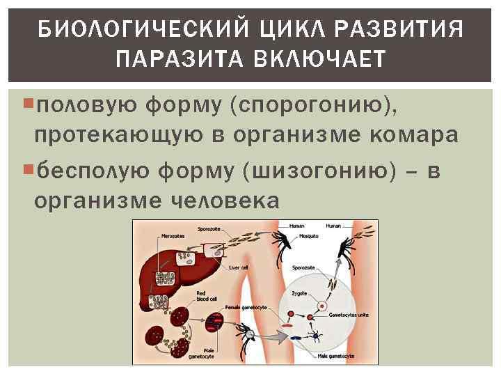 БИОЛОГИЧЕСКИЙ ЦИКЛ РАЗВИТИЯ ПАРАЗИТА ВКЛЮЧАЕТ половую форму (спорогонию), протекающую в организме комара бесполую форму