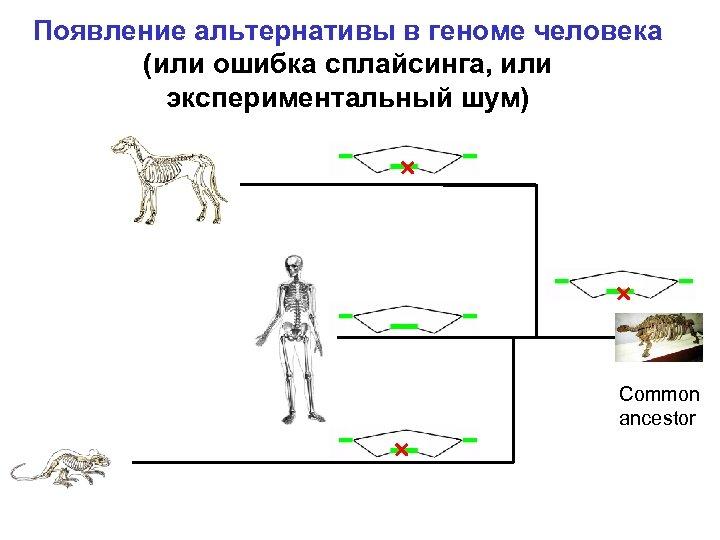 Появление альтернативы в геноме человека (или ошибка сплайсинга, или экспериментальный шум) Common ancestor
