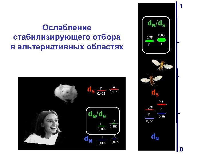 1 Ослабление стабилизирующего отбора в альтернативных областях d. S d. N/d. S d. N