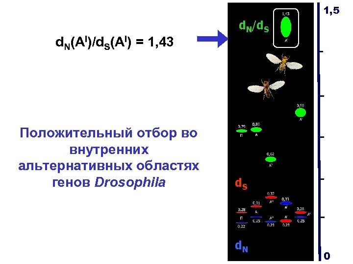 1, 5 d. N/d. S d. N(AI)/d. S(AI) = 1, 43 Положительный отбор во