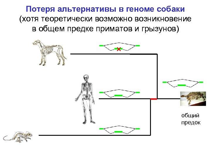 Потеря альтернативы в геноме собаки (хотя теоретически возможно возникновение в общем предке приматов и
