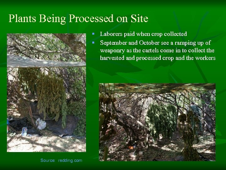 Plants Being Processed on Site § Laborers paid when crop collected § September and