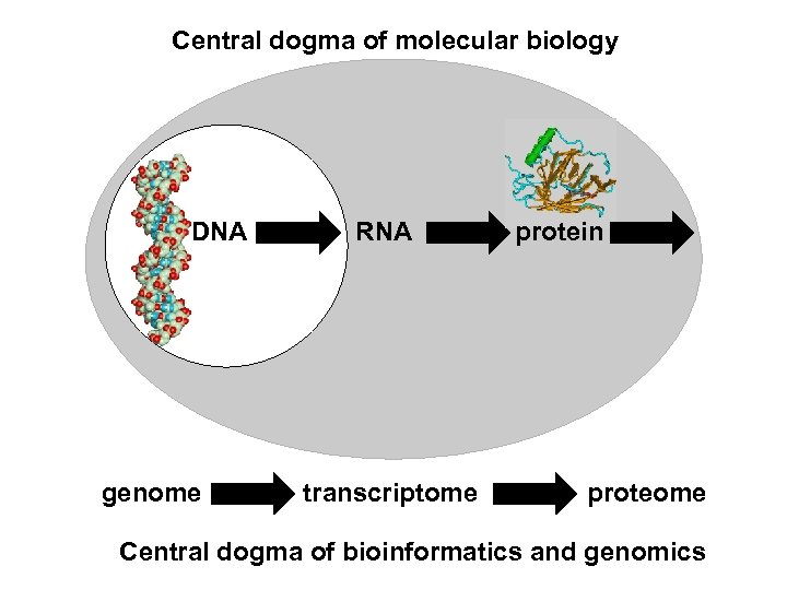 Central dogma of molecular biology DNA genome RNA transcriptome protein proteome Central dogma of