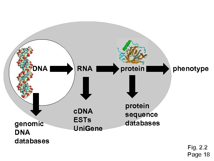 DNA genomic DNA databases RNA c. DNA ESTs Uni. Gene protein phenotype protein sequence
