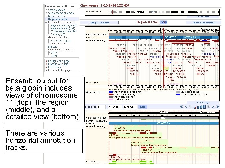Ensembl output for beta globin includes views of chromosome 11 (top), the region (middle),